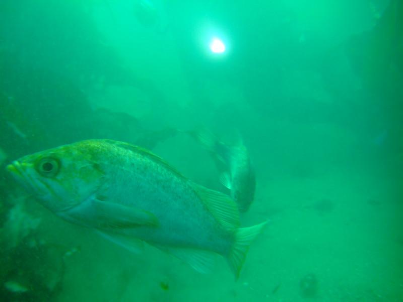 victor morita kelp rockfish marineland fuji f10