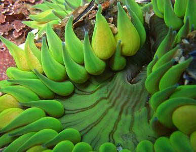 "Penelope foo  Agregating anemone, Anthopleura elegantissima Shaw's cove, Oct 20th Fuji F30, internal flash ""anemones love the strong surge"""