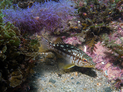 russel burt subject: Calico bass w/blue algae camera: Olympus SP350 w/Sea & Sea YS90 strobe aperture: f5.6 shutter speed: 1/160 ISO: 100