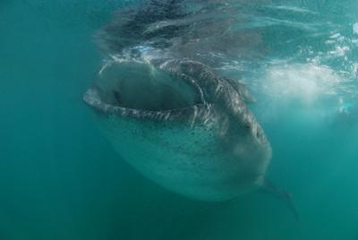mike bartick la paz whale shark nikon d80, scotty's 10.5mm lens