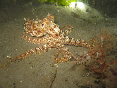 """dana rodda probably a red octopus vet's park, oct 9th canon S80, internal strobe """"Flamboyant red octopus stretches his tentacles, ready to flee."""""""