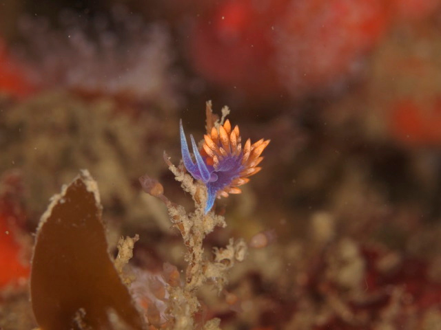 Roger Carlson Buchanon's Reef 10/27 Olympus E410, 50mm lens & 1.4 teleconverter Tiny Spanish shawl
