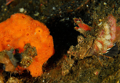 scott webb faceoff! frogfish and devil scorpionfish lembeh straits nikon d200, 60mm lens