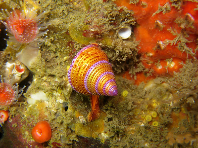 "Dana Rodda Calliostoma annulatum (Blue-Ring Topsnail) Hawthorne's Reef off of Palos Verdes 75 ft ""I was so excited to finally see a Blue Ring Topsnail!"" Canon Powershot S80, Ikelite housing, internal strobe"