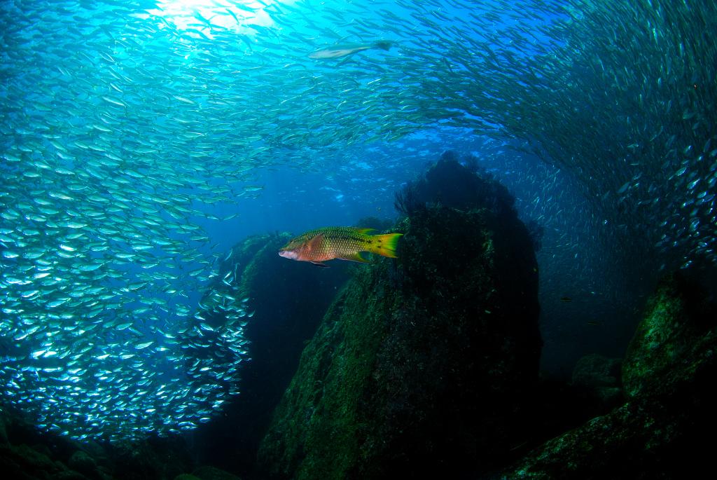 mike bartick  schooling fish (anchovies), mexican hogfish la paz nikon d80, 10.5mm lens, dual strobes