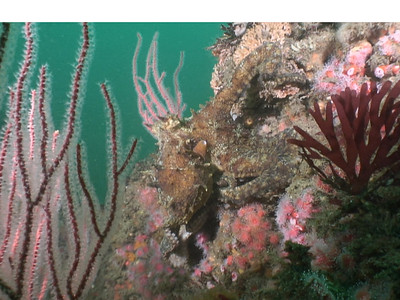 walter marti octopus walking around the reef hawthorne reef, palos verdes, oct 27th video still from HC1 video