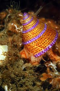 linda blanchard jeweled top snail hawthorne reef, palos verdes, oct 27th nikon D100, 105mm lens, dual Ys-90 strobes