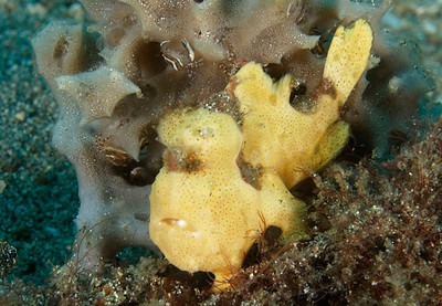 margaret webb frogfish lembeh straits oly E330, 50mm lens