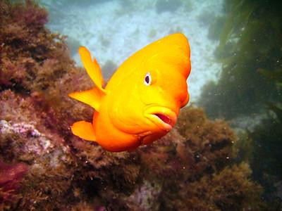 Sean Sydnor  Garibaldi, Hypsypops rubicundus catalina sealife 600