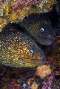 Kevin Lee subject: Moray eels, Gymnothorax mordax venue: Shaw's Cove, Laguna Beach date: Nov. 2, 2007 rig: Nikon D200, dual YS-110 strobes