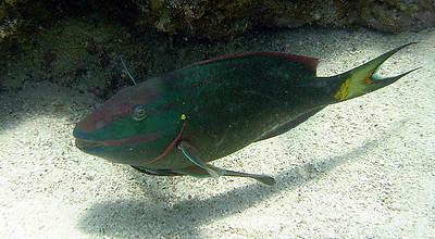 Sean Sydnor Parrot Fish Key Largo Sealife 600