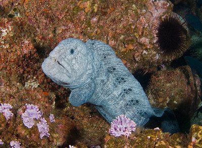 scott gietler wolf eel farnsworth banks, nov 11th nikon d80, 17mm lens, dual YS-110s