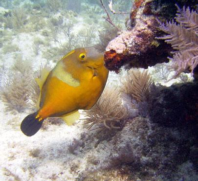 Sean Sydnor filefish, maybe Orange filefish, Alutera schoepfii  key largo sealife 600