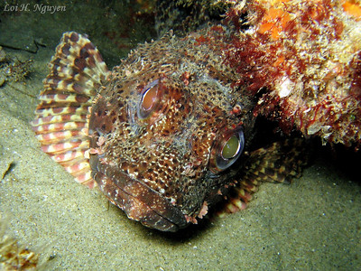 Loi Nguyen Montage, Laguna Beach California scorpionfish, Scorpaena guttata Canon A95, internal flash Note how the angle of reflection produced two different eye colors.