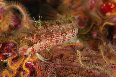 mike bartick island kelpfish, Alloclinus holderi channels, anacapa, nov 24th nikon d80, 60mm lens, dual DS-125's