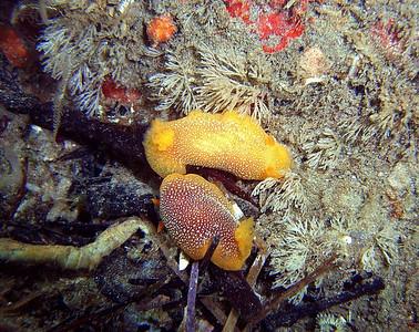walt conklin Malibu Canyon Road 11-24-07 White-spotted Dorid Doriopsilla albopunctata Sea & Sea DX8000-G (for sale) YS-25 Auto