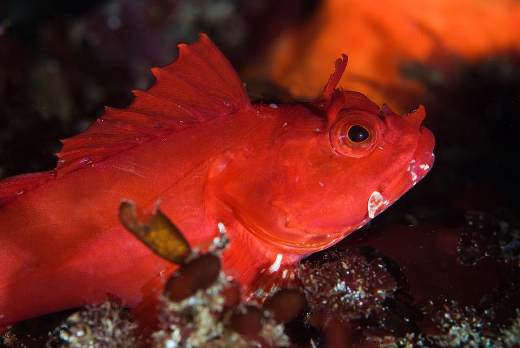 Scott Gietler very young cabezon, Scorpaenichthys marmoratus dec 1st, santa cruz island, west end nikon d80, 10-17mm lens, ys-110s