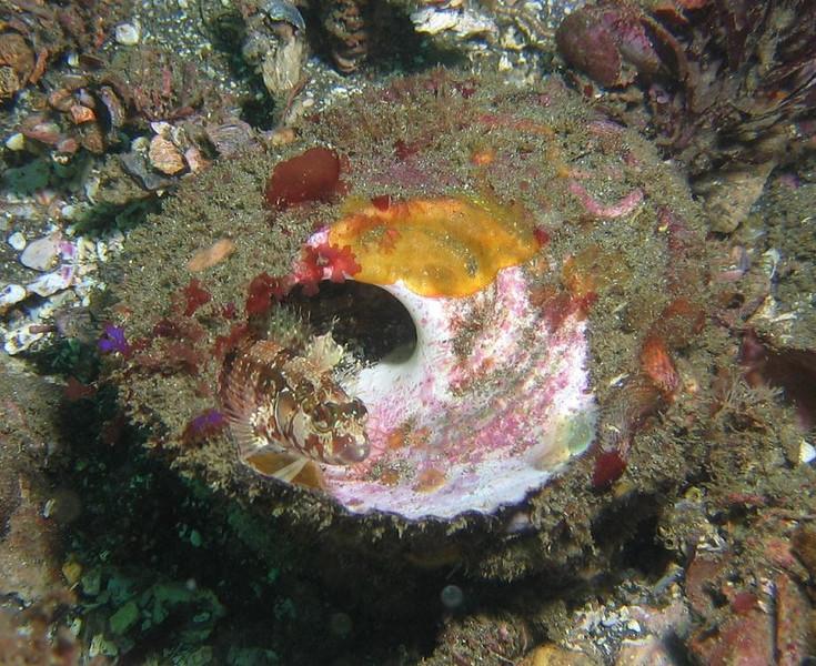 Robert arance santa cruz, Dec 1st island kelpfish, Alloclinus holderi canon A95, Inon D2000