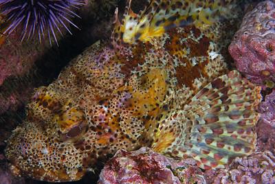 Mike Bartick shaw's cove Cal scorpion fish, Scorpaena guttata nikon d80, 60mm lens