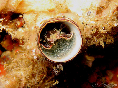 Loi Nguyen Scaled worm shell (Serpulorbis squamigerus) November 29 Shaw's Cove, Laguna Beach Canon A95 Not sure if the subject inside the shell is the worm/mollusk or some other invertebrate.