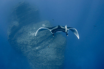 wendy taylor  just got back from the Socorro Islands.  This picture of a Giant Manta is at the Boiler on San Benedicto island, Archipielago Revillagigedo, Mexico.  Shot with D300, Sea&Sea Housing, Tokina 10-17mm, Dual YS-110.