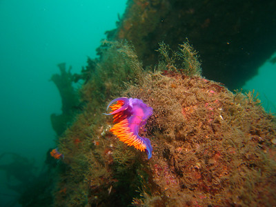 Dana Rodda March 2, 2008 Flabellina iodinea (Spanish Shawl) nudibranch (plus another in the background) Near large hole in the Sue Jac wreck, Casino Point Dive Park, 75 feet Canon Powershot S80, Ikelite Housing, Inon Z-240 strobe