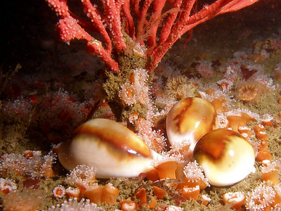 jim lyle March 1, 2008 Chestnut cowries (Cypraea spadicea) Clubtipped anemone Corynactis californica Red gorgonian (Lophogorgia chilensis) Barge, Redondo Beach Olympus SP-350 in a Ikelite housing with a single DS-125 strobe. [This is my wife's warm water rig.  My E-330 housing is in the shop.]