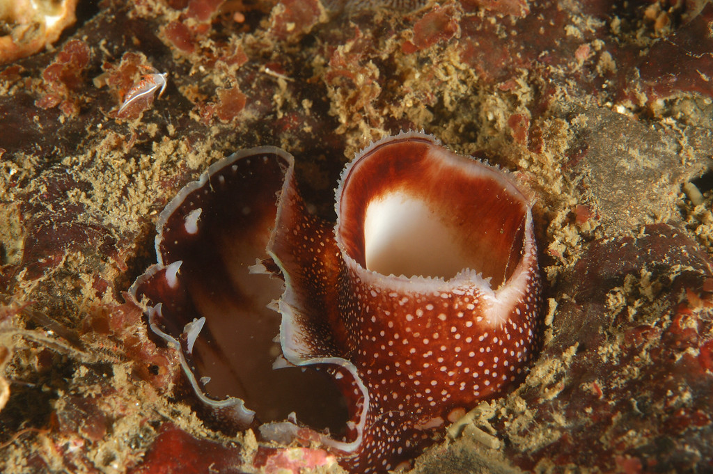 Linda Blanchard Nikon D100, 60 mm lens, sea & sea housing, 2 sea & sea YS 90 strobes Palos Verdes,  Avalon wreck area March 1 Boring clam siphons; notice the tiny nudi in the upper left (Flabellina trilineata)