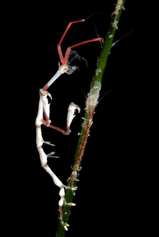 kevin lee Subject: Skeleton Shrimp and isopods Date: Jan. 8th Venue: Vallecitos Point, LJS Rig: Nikon D200, dual YS-110 strobes, 60mm lens