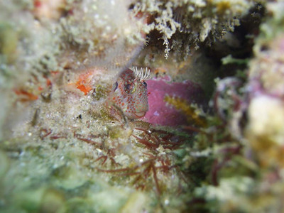 Ruth Harris Shaw's Cove 3/9/08 Rockpool Blenny Sea & Sea 750G internal Flash only