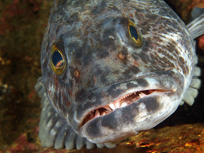 """jim lyle """"Grandma, what big teeth you have!"""" Ling Cod on the wreck of the Avalon Olympus E-330 & Zuiko 50mm lens in an Ike housing with dual Ike DS-125 strobes."""