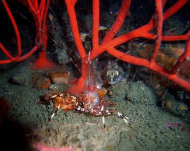walt conklin 3-18-08 (End of lobster season dive) Redondo Beach Artificial Reef #72 aka Pipe Farm 51 degrees @ 81' Coon stripe shrimp (Pandalus danae)  Painted greenling (Oxylebius pictus)  Sea & Sea DX-8000G internal flash