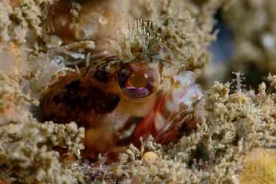 kevin lee Yellowfin Fringehead, Neoclinus stephensae point loma, san diego nikon d200, 60mm, dual Ys-110s