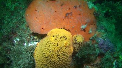 Dr. Bill Bushing April 12, 2008 Hen Rock outer reef, Catalina Peltodoris nobilis feeding on orange sponge still capture from Sony HC-7 HD video