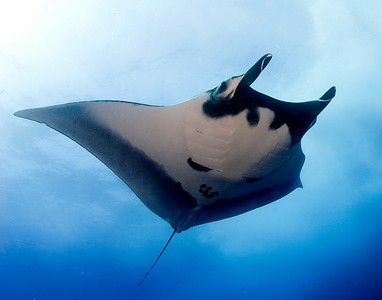 Allison vitsky Manta Ray Socorro islands Canon Eos 20D with dual ikelite DS 125 strobes, 15mm fisheye