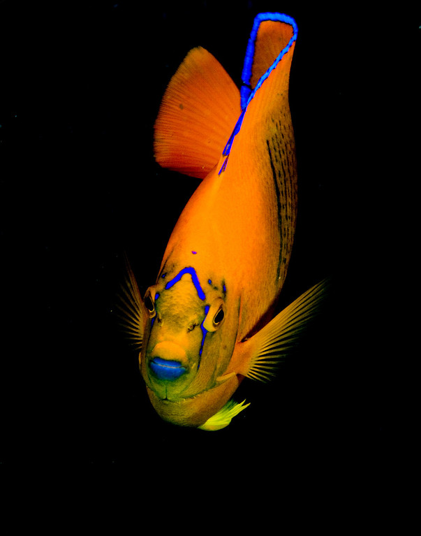 Allison vitsky Clarion angelfish, which is native to Socorro Socorro island, of the coast of baja Canon Eos 20D with dual ikelite DS 125 strobes, 50 mm compact macro lens