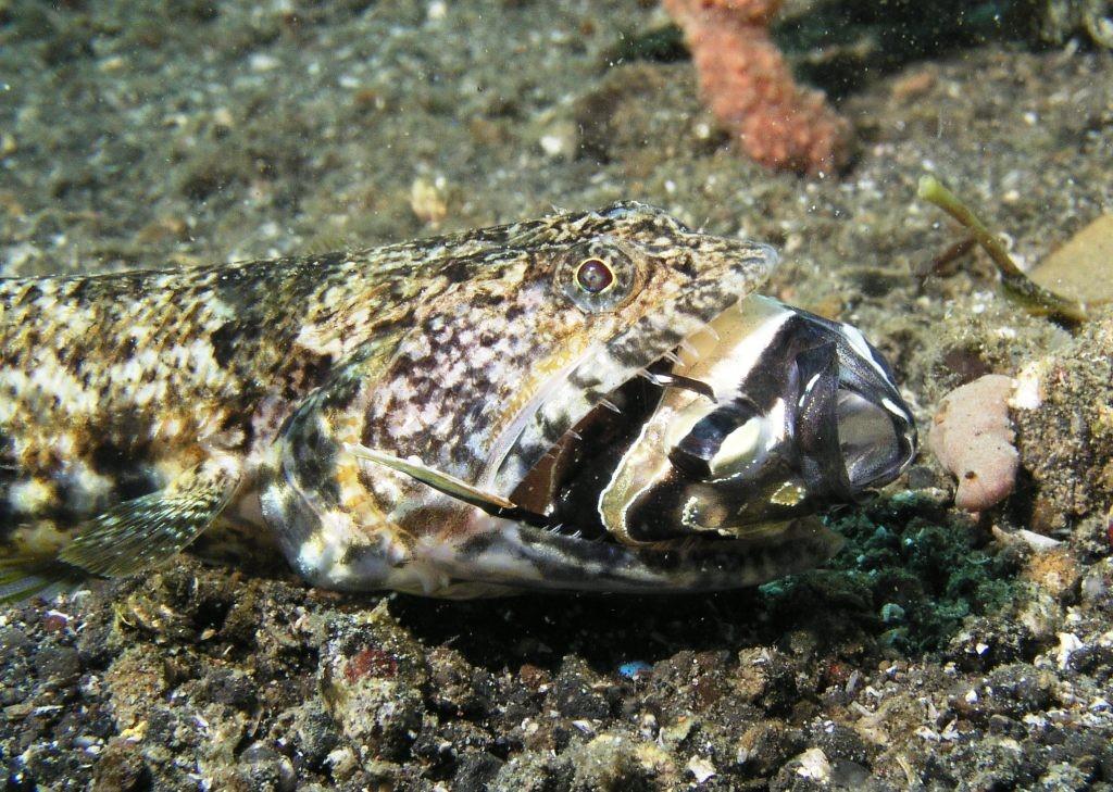Nus Lobbu lizardfish eating a cardinal fish lembeh straits, indonesia