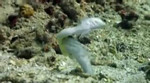 walter marti Jawfish from Manado. He really knows how to 'pick up' women!!    Sony HC1