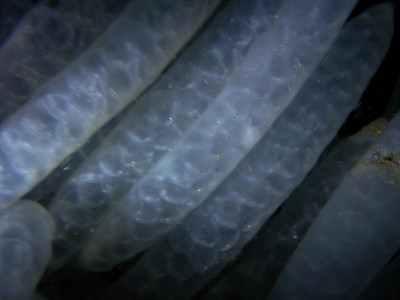 walt conklin squid eggs, 80ft Redondo Canyon, April 17th Sea & Sea DX-800G with dual YS-25 Auto Strobes