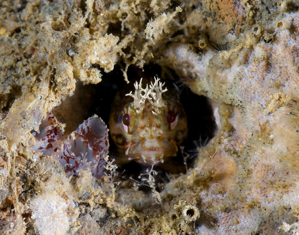 Allison vitsky Yellowfin fringehead La jolla shores I shot this with a Canon 20D, two Ikelite DS 125's, a 50 mm compact macro lens (Canon EF) and a flip-on Macro   Mate Diopter