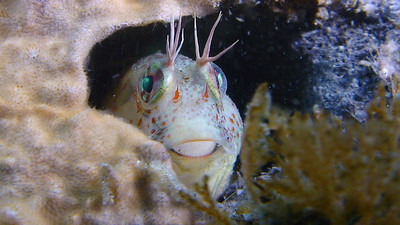 bobby arnold rockpool blenny taken with Sony HDR-HC7 in Still Mode (6.1MP) Nite Rider HID Pro 20 Lights La Jolla Shores (Marine Room) 04-12-08