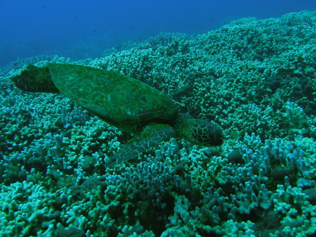 andy mckay turtle kona, hawaii Shot with an Oly SP350 and ambient light