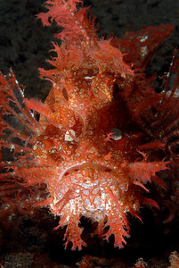 kevin lee Rhinopia frondosa April 10th Lembeh Strait, North Sulawesi, Indonesia Nikon D200, YS-110 strobes