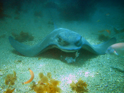 peter gallup bat ray feeding little gibraltar, catalina april 26th oly 410