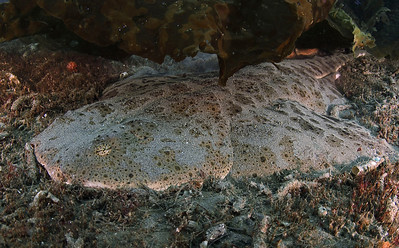 """scott gietler angel shark waiting for prey Little farnsworth, catalina, april 26th nikon d80, 10-17mm lens, dual strobes """"I saw 2 of these large sharks near each other - this one was quite skittish"""""""