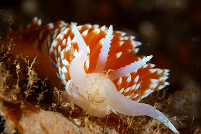 "Linda Blanchard Nudibranch - Hermissenda crassicornis April 26 Long Point, Catalina island Nikon D100, 60 mm lens, duel YS 90 strobes ""Hydroid lunch anyone?"""