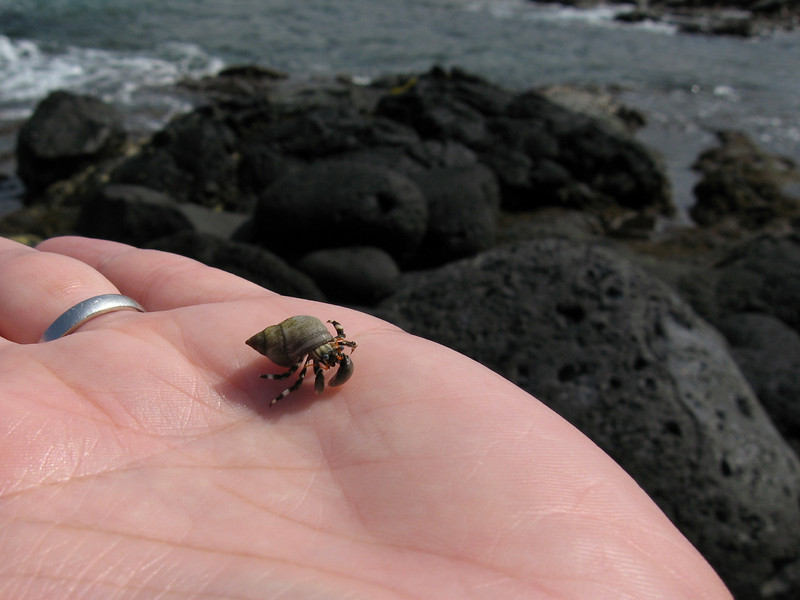 Dana Rodda Hermit Crab (on my husband Jonathan's hand) Tidepools at Sheraton Keauhou Resort - Big Island of Hawaii Canon Powershot S80 On vacation in Hawaii, I was too sick to scuba dive, but at least I got to enjoy finding critters, such as this little hermit crab, in the tidepools at our hotel.
