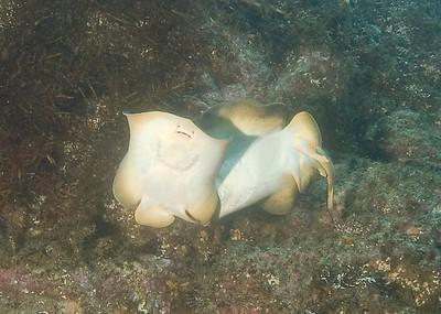 "scott gietler mating stingrays sea fan grotto, catalina, may 3rd nikon d80, 10-17mm fisheye lens, dual strobes ""these stingrays split up as soon as I hit the shutter"""