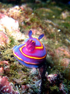 "Loi Nguyen Chromodoris macfarlandi? Yellowtail, Catalina, May 10th Canon A95, internal flash ""Hindsight"" of a nudi"