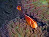 peter gallup<br /> orangefin anemonefish<br /> austrailia, great barrier reef<br /> oly 330